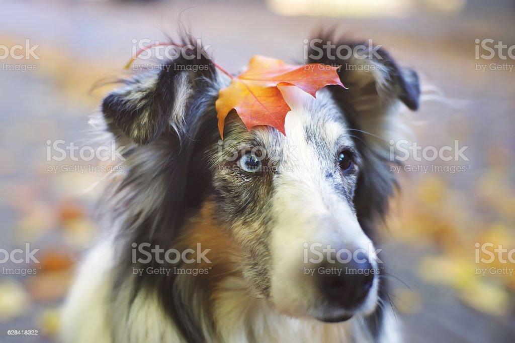 Portrait of Sheltie dog holding maple leaf on its head stock photo