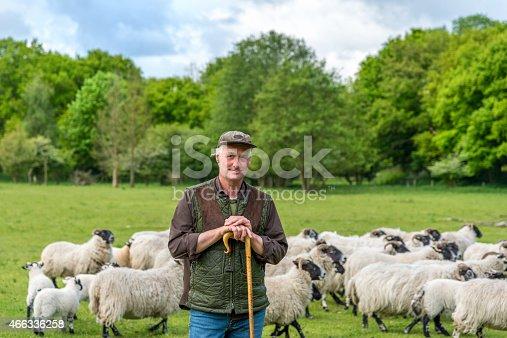 Shepherd herding his flock of sheep in a green meadow