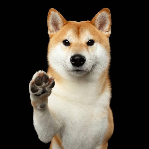 Portrait of Shiba inu Dog Isolated Black Background stock photo
