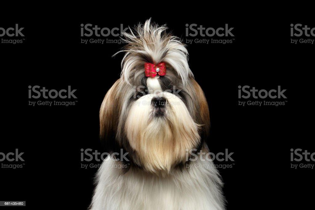 Retrato de Shih tzu foto royalty-free