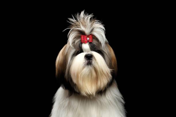 Portrait of Shih tzu stock photo