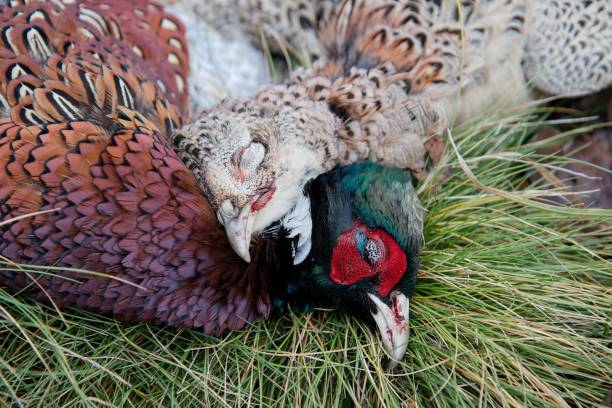 Portrait of shooted pheasants stock photo