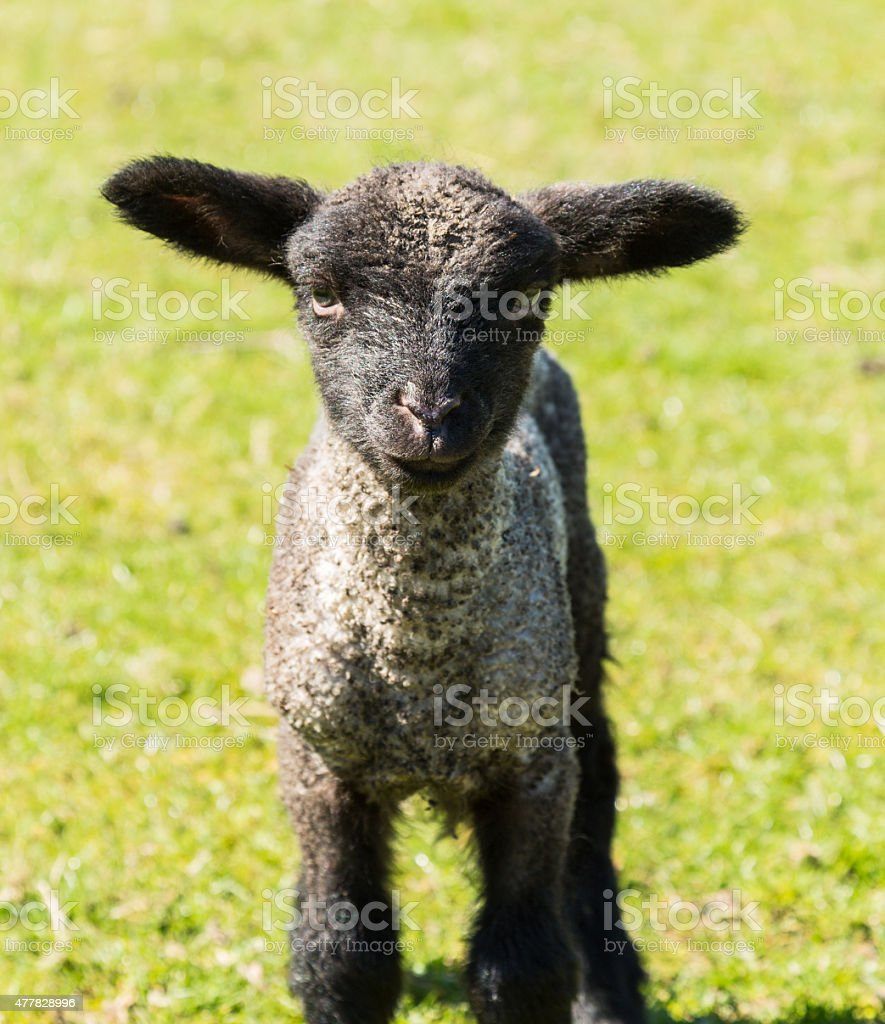 Portrait of Shropshire lamb in meadow stock photo