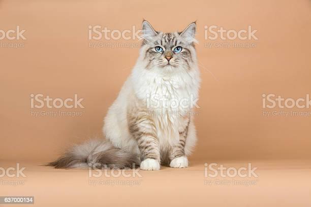 Portrait of siberian cat picture id637000134?b=1&k=6&m=637000134&s=612x612&h=urdnwt1juvt4xbkoxfvytdkg8p1y7n5avr9cxunwako=