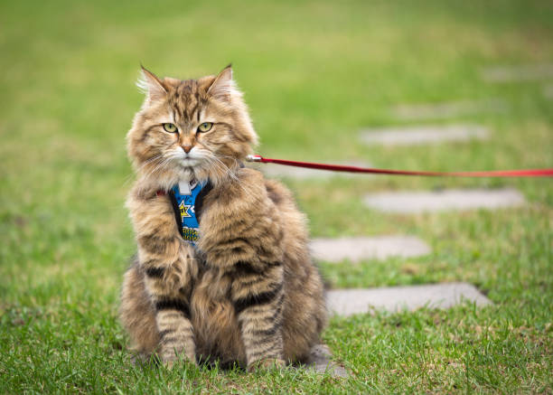 portrait of siberian cat - cat leash stock photos and pictures