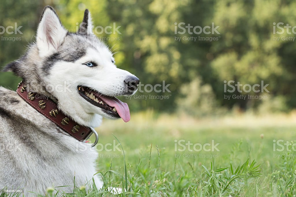 Portrait of Siberian Husky. stock photo