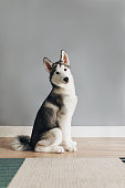 Portrait of adorable little Siberian Husky dog sitting on the home floor and looking at camera.