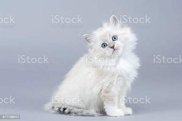 Portrait of siberian kitten picture id517706312?b=1&k=6&m=517706312&s=612x612&h=dspjpwq1lx2bfiem0lzgol jrshxrjpk8ll4czjxzaq=