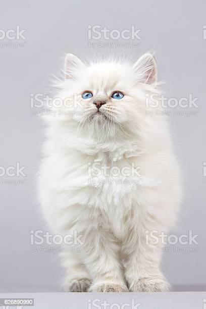 Portrait of siberian kitten picture id626890990?b=1&k=6&m=626890990&s=612x612&h=f lfw5qufwbh8op55z91bw2qpja84jijst hu3x7fbi=