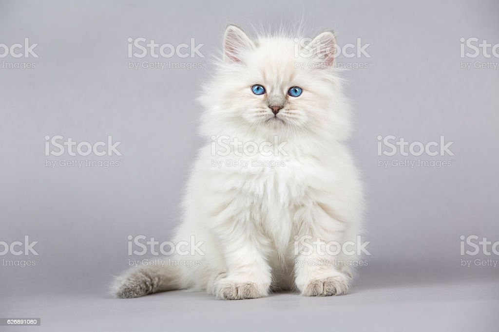 Portrait of Siberian kitten stock photo