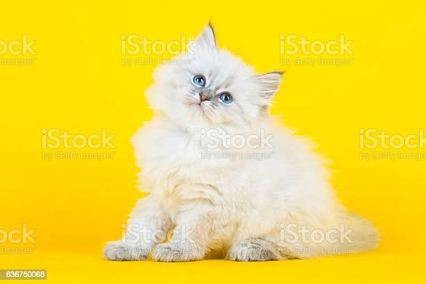 Portrait of siberian kitten picture id636750068?b=1&k=6&m=636750068&s=612x612&h=5wsumjj6yr srmpjyw9qtz6k q4ixahj wvimo3qsjs=