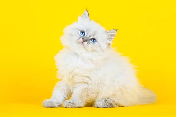 Portrait of siberian kitten picture id636750068?b=1&k=6&m=636750068&s=612x612&w=0&h=ifgmjps7skamtljxljguhqyxtj7kvnuzll3fm9alqcm=