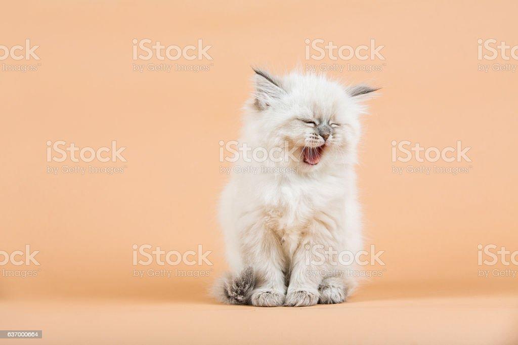 Siberia Retrato de mascota - foto de stock