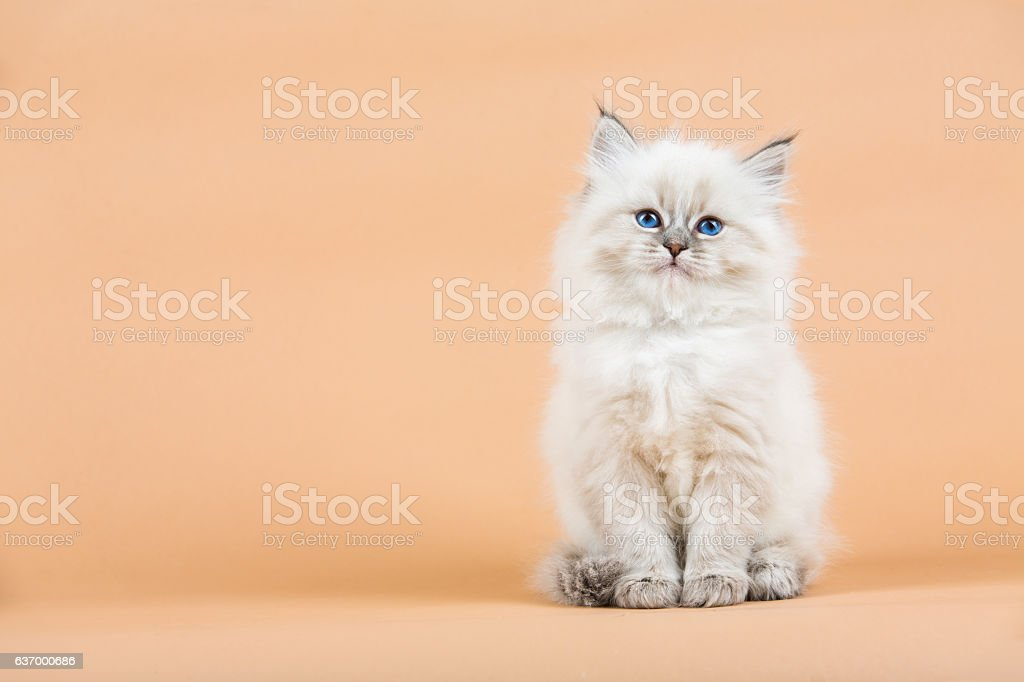 Siberia Retrato de mascota foto de stock libre de derechos