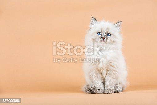 Portrait of Siberian kitten on a  beige background, studio shoot