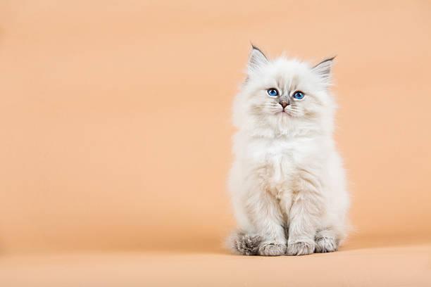 Portrait of siberian kitten picture id637000686?b=1&k=6&m=637000686&s=612x612&w=0&h=qxoctxg4sn1ylmnno1ybg swdaiq86dcw9hnbedemqu=
