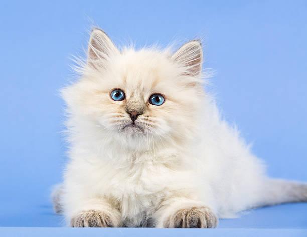 Portrait of siberian kitten picture id637001008?b=1&k=6&m=637001008&s=612x612&w=0&h=zl9s1xdj iwernpeask zmnx9rejuww3mlkd1xwqfye=
