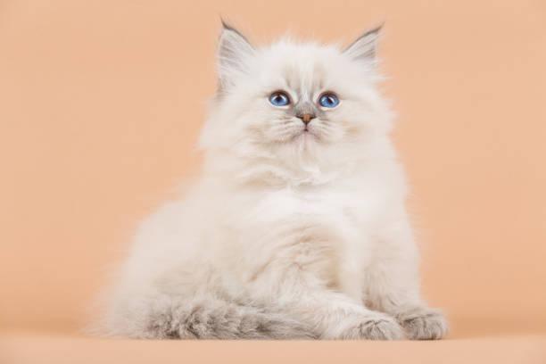 Portrait of siberian kitten picture id950433490?b=1&k=6&m=950433490&s=612x612&w=0&h=eunfkgjgw8rro4u77srm5 tzvttwwdi4jyukucw5ddu=