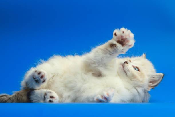 Portrait of siberian kitten picture id952931800?b=1&k=6&m=952931800&s=612x612&w=0&h=fdhqruyycvhks0gqcmktpurcaaqwsp1beeefdch 1r4=