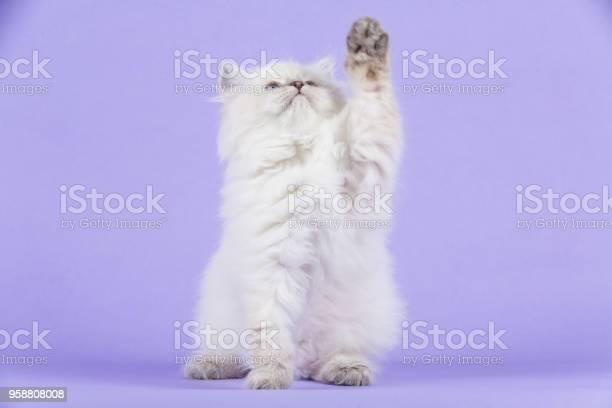 Portrait of siberian kitten picture id958808008?b=1&k=6&m=958808008&s=612x612&h=avdccqgwll2asug7mnqrou2fy3ri3n2tf2gfpfqktvy=