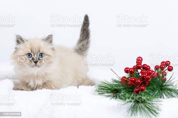 Portrait of siberian kitten studio shoot picture id1032906358?b=1&k=6&m=1032906358&s=612x612&h=sht7wx8knach1chpi rbt 8s3viq i  v2ju1wtyn2a=