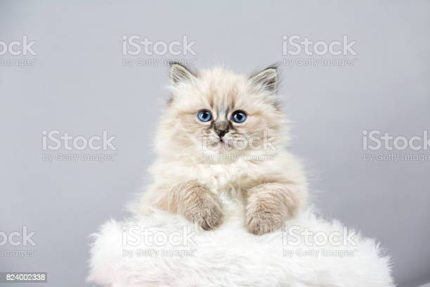 Portrait of siberian kitten studio shoot picture id824002338?b=1&k=6&m=824002338&s=612x612&h=ko9cierqget0y0exrj6ustov7apw4n0j1osgtn2824u=