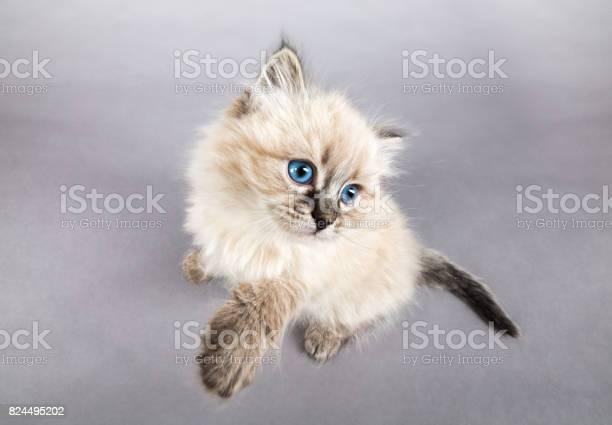 Portrait of siberian kitten studio shoot picture id824495202?b=1&k=6&m=824495202&s=612x612&h=idmid 3awmhskpm74axx5hl sohtxhyytle0snwr mc=