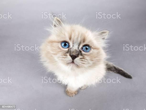 Portrait of siberian kitten studio shoot picture id824495472?b=1&k=6&m=824495472&s=612x612&h=swqfheaaiembkki80vxqpwupo21ues utyoweynxuoe=