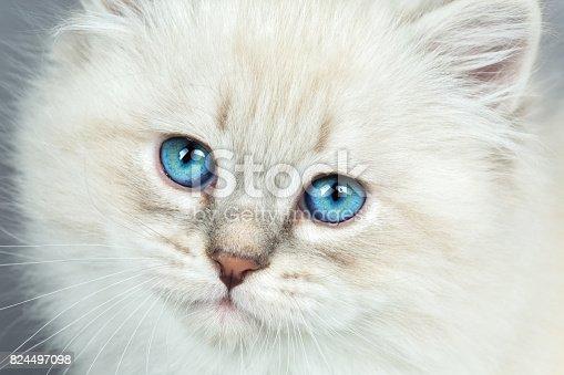Portrait of Siberian kitten on a gray background