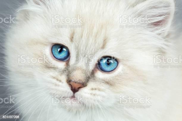 Portrait of siberian kitten studio shoot picture id824497098?b=1&k=6&m=824497098&s=612x612&h=vspvrw0sad9x7iej78hh1xh5ods63eshv i11xjeyo0=