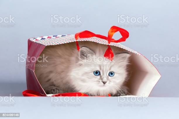 Portrait of siberian kitten studio shoot picture id824499146?b=1&k=6&m=824499146&s=612x612&h=h rpx9i4d aiuzmor9qeg9n8lp4d5lw9go7ttzvsgbw=