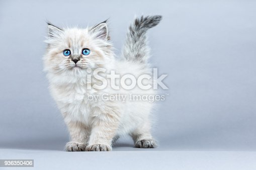 Portrait of a Siberian kitten, studio shot on a gray background