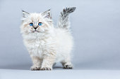 blue tabby maine coon kitten standing on cat furniture tilting head beside a houseplant in front of white curtains