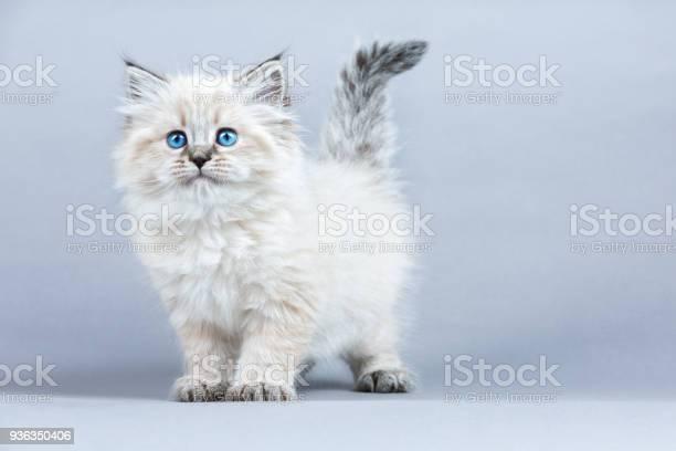 Portrait of siberian kitten studio shoot picture id936350406?b=1&k=6&m=936350406&s=612x612&h=chld2vwjoyxorhmtamltosdzwb6lfmzpftk1ng mbou=