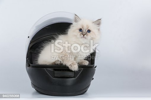 Portrait of Siberian kitten, studio shoot