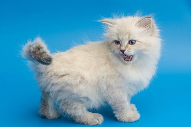 Portrait of siberian kitten studio shoot picture id940255680?b=1&k=6&m=940255680&s=612x612&w=0&h=2o 0vzywjayi4yabgegkfb jhzrkspr2hkdubg9db7i=