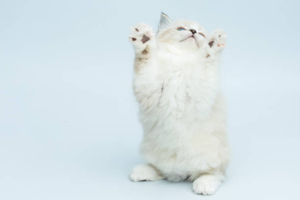 Portrait of siberian kitten studio shoot picture id940738644?b=1&k=6&m=940738644&s=612x612&w=0&h=yv6gs6yp zkm1s08rpx4qnkhrk6ajnv3miu6xdh49fe=