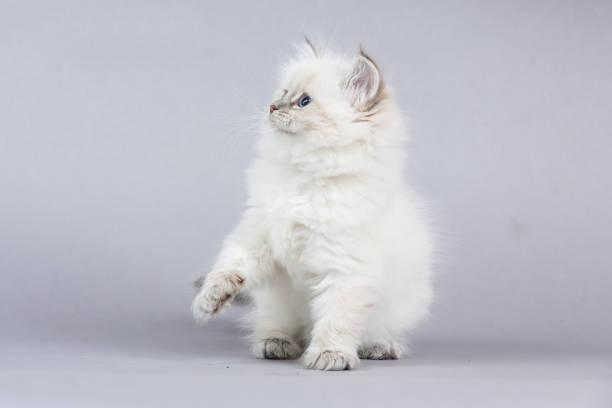 Portrait of siberian kitten studio shoot picture id940738666?b=1&k=6&m=940738666&s=612x612&w=0&h=bxxr3kbi7eukz7ws0fzuvc7tihvnezb8nr6ptfcnvdk=