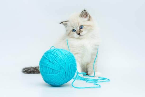 Portrait of siberian kitten studio shoot picture id940986682?b=1&k=6&m=940986682&s=612x612&w=0&h=gachfhhwgvraymljyinpufljtbnh57md62vki8ypveo=