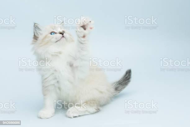 Portrait of siberian kitten studio shoot picture id940986686?b=1&k=6&m=940986686&s=612x612&h=z6dbvvx8kxaodhciz4wqgsazi2krxodxeg4srjjcvcs=