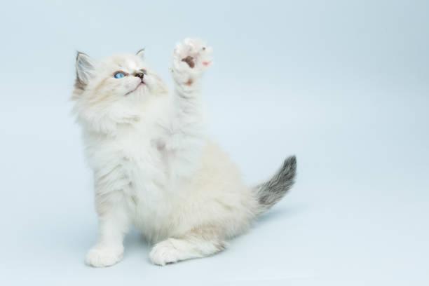Portrait of siberian kitten studio shoot picture id940986686?b=1&k=6&m=940986686&s=612x612&w=0&h=muesp41k7abs t1mc26ajjonha4df8tu2ahwaolb  e=