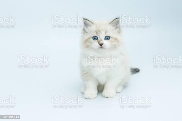 Portrait of siberian kitten studio shoot picture id942455114?b=1&k=6&m=942455114&s=612x612&h=fjy8sscyx6mgwd45rpegmlgolo q tii6wsrh2qi6p8=