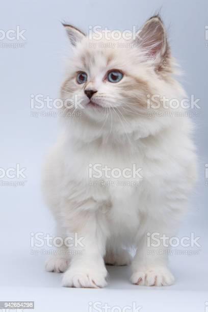 Portrait of siberian kitten studio shoot picture id942654298?b=1&k=6&m=942654298&s=612x612&h=a2 9c3rjtafmskxtgggi5eil3 g mpbrk0g8lidaopc=
