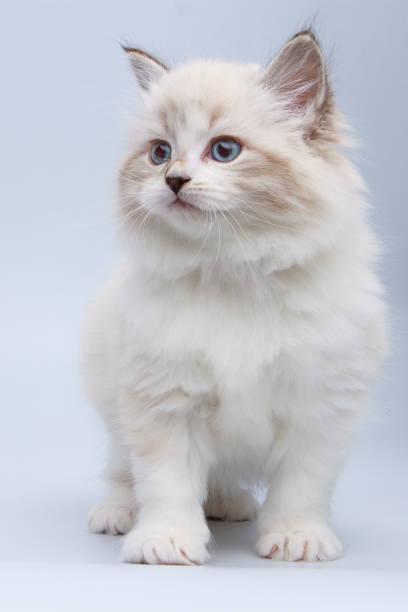 Portrait of siberian kitten studio shoot picture id942654298?b=1&k=6&m=942654298&s=612x612&w=0&h=eexzy2kw95mgnzuopdgzyximhf77exda5d injmej9s=