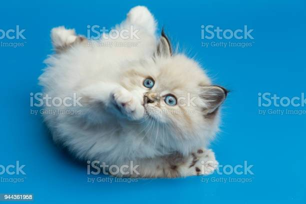Portrait of siberian kitten studio shoot picture id944361958?b=1&k=6&m=944361958&s=612x612&h=wwbfu2rosiybx61rcvvznnxgfclz0eg4lw byopugwq=