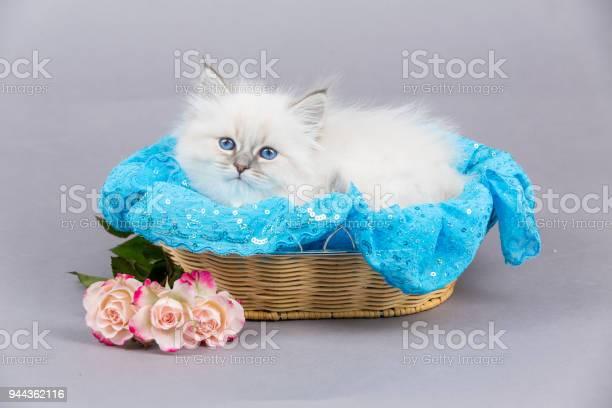 Portrait of siberian kitten studio shoot picture id944362116?b=1&k=6&m=944362116&s=612x612&h=dw4ruxdr2vrun olipmi4d2p2fo3yfz7zhjt97qui4i=