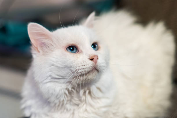 Portrait of Siberian white cat. A 15-year-old cat. stock photo