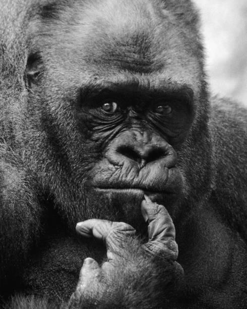 Portrait Of Silverback Gorilla stock photo
