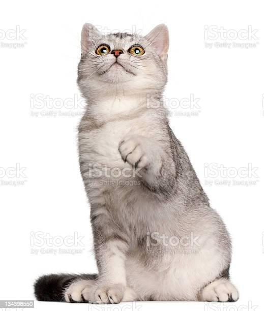 Portrait of sitting 4months british shorthair kitten picture id134398550?b=1&k=6&m=134398550&s=612x612&h=mhtr4lx3yhjb0spo6keundynv1xpgyy2rdfjf6djo5e=