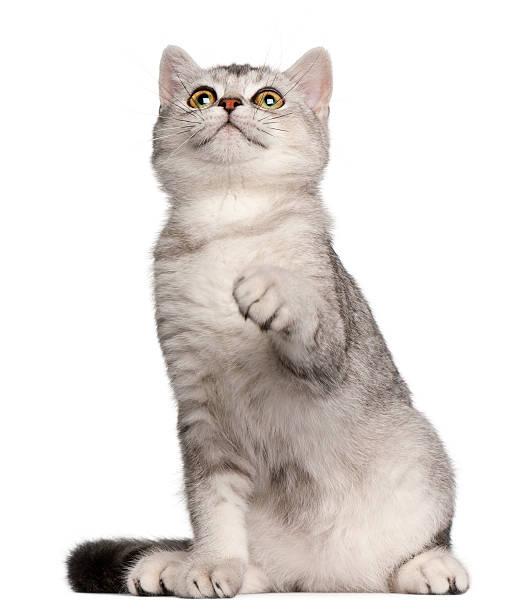 Portrait of sitting 4months british shorthair kitten picture id134398550?b=1&k=6&m=134398550&s=612x612&w=0&h=iqi48 7lqxnge80m580le1a qhpjeflsumxztxghuc4=